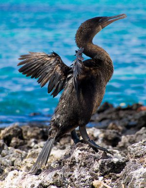 cormorant-galapagos-islands